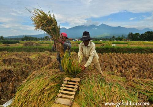 """""""Manyi"""" Tradisi Panen Padi di Bali"""